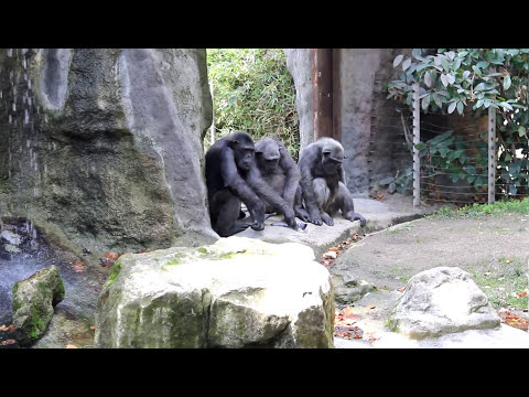 Zoo Barcelona (CHIMPANCE CAZA Y SE COME A PALOMA VIVA)