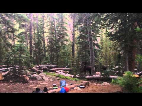 Moose Walks Through Our Campsite - Rocky Mountain National Park - Tonahutu Creek Trail