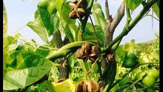 Giới thiệu cây Sachi và triển vọng cây Sachi tại việt nam   cung cấp hạt giống cây trồng mới