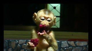 Baby Monkey Dodo Eat Dragon And Mango Before Sleep