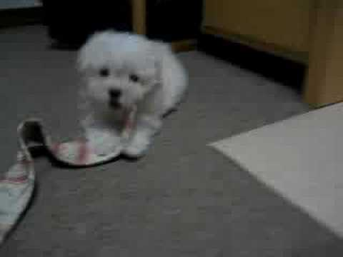 Maltesepuppies Youtube on Maltese Facts  Information  Pictures   Encyclopedia Com Articles About