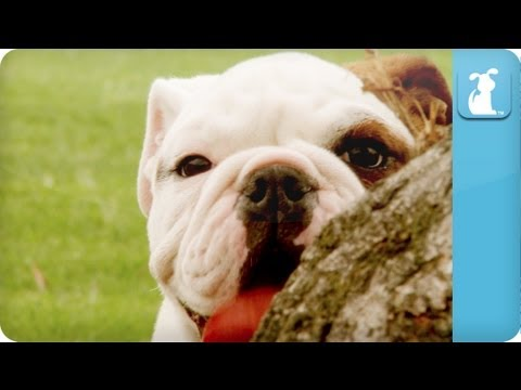 Bulldogs Puppies - Puppy Love