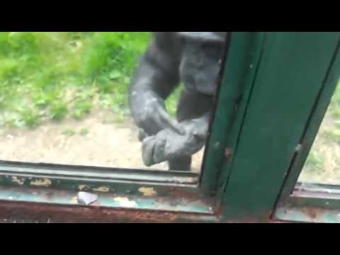 Clever Chimpanzee Asks Zoo Visitors To Free Him