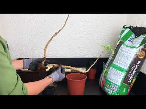 Mein Colvillea racemosa Bonsai  - #seigartenschlauer