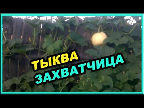 Обзор огорода // тыква захватчица // картошка сгнила.