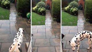Adorable Dalmatian Can't Stand Rain