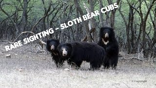 Sloth Bear with Cubs at Rathambore National park