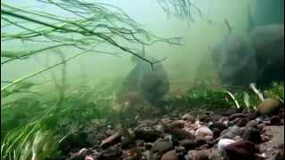 Underwater -  Barbel,Tench,Carp,Rudd,Perch,Grayling,Pike and Chub