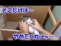 """保護猫ボス吉の「そこだけはやめてくれにゃ~~」Boss Cat's """"Please Don't Touch It"""""""