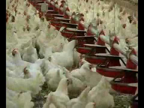 The Hatching Egg Industry - Part 2