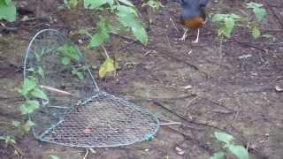 Kicau Mania - Cara Menjerat Burung Murai Batu Di Hutan Dengan Perangkap