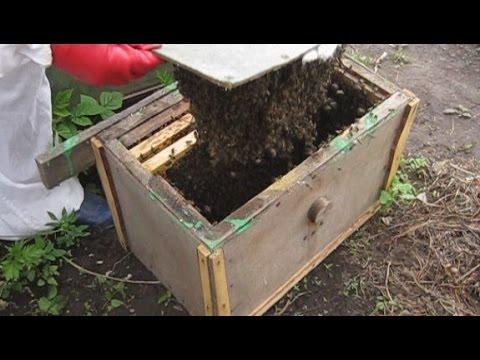 пчелы рои как их ловить