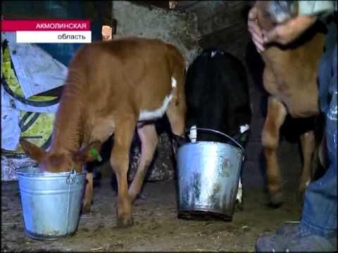 Фермер 20 лет ежедневно обеспечивает молоком столицу