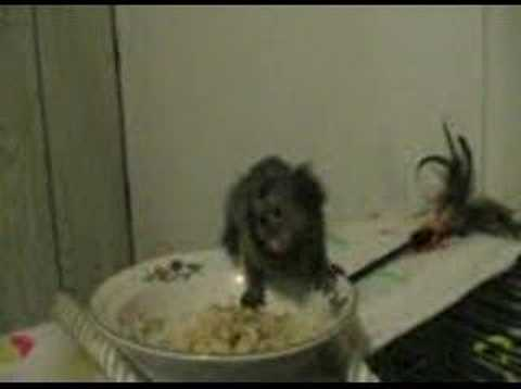 Marmoset Babies For Sale Baby Marmoset Monkey Eating
