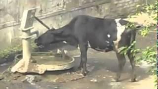 Chuyen la - Con bò thông minh
