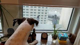 Pigeons kissing and mating outside the window and a funny dog