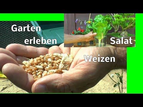 Garten erleben Weizen ernten Aussaat für Weizengras Brennnessel Girsch und mehr entdecken