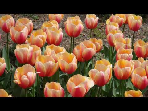 Крым. Ялта. Тюльпаны. Никитский ботанический сад.