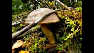 GRZYBY.MUSHROOMS,WILNO, ГРИБЫ-CHAMPIGNONS-PILZE.