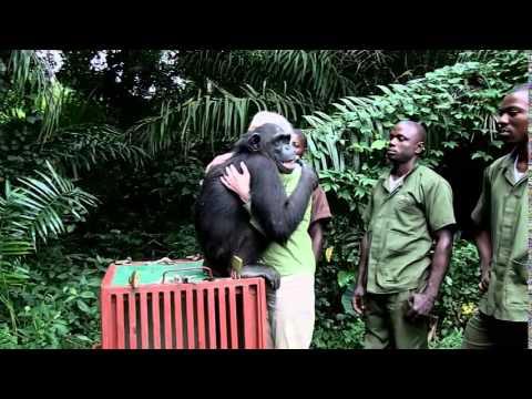 HERMOSO cómo este chimpancé muestra su agradecimiento cuando es rescatado y rehabilitado