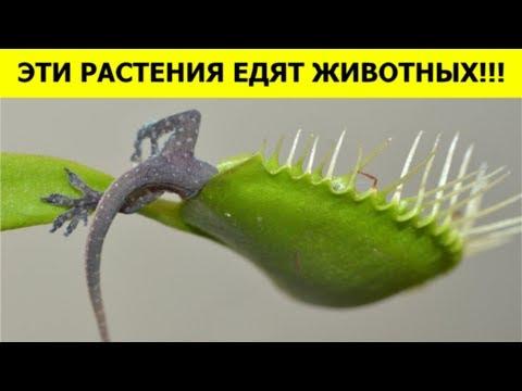 РАСТЕНИЯ, которые ЕДЯТ ЖИВОТНЫХ!!!
