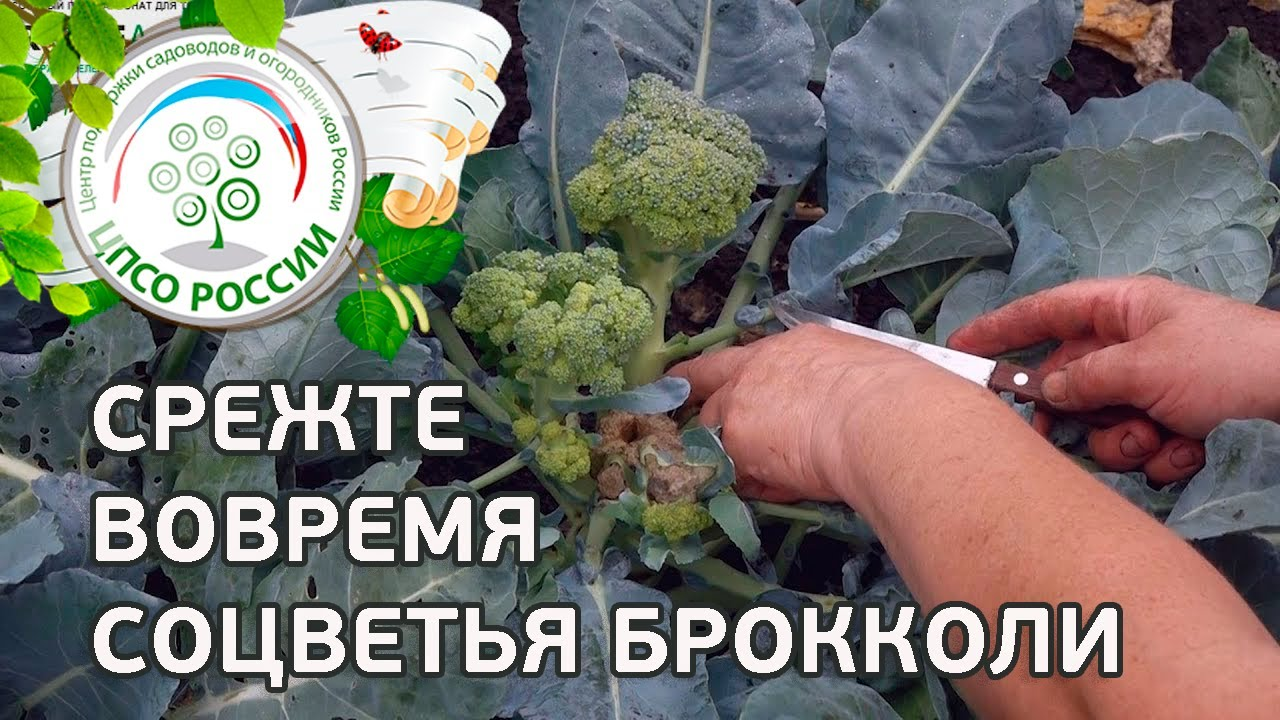 Брокколи как собрать семена
