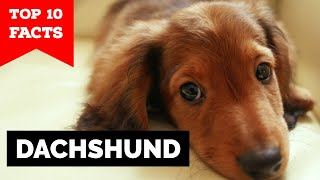 Dachshund - Top 10 Facts