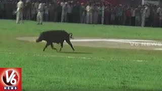 MP CM Shivraj Singh's Landing Delayed As Pig Takes Joy Ride At Helipad | V6 News
