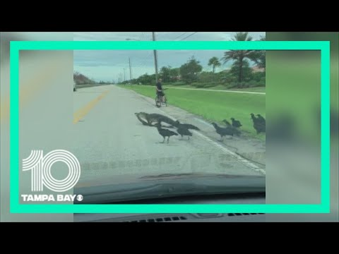 Florida gator crosses road with a meal | 10News WTSP