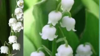 Lacramioare - (Convallaria majalis)
