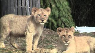 Maryland Zoo Lion Cubs Play in the Snow