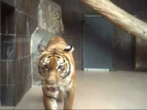 Indochinese tiger at omaha zoo