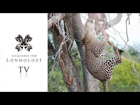 Male Leopard vs Hyena tries to hoist kill - Londolozi TV