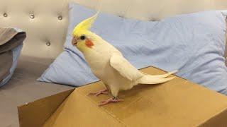 Tap Dancing Cockatiel || ViralHog