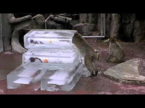 ニホンザルに氷のプレゼント(札幌市円山動物園)~Japanese monkey
