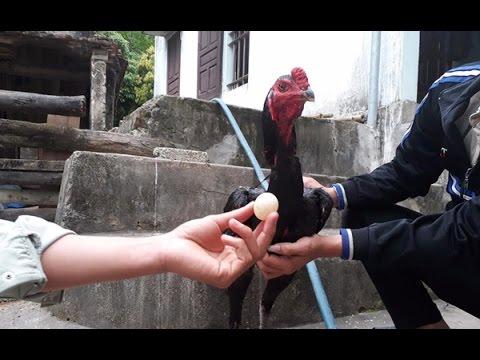 Đi tìm lời giải về việc chú gà trống chọi đẻ trứng ở Nghệ An