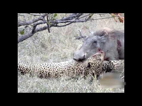 Leopard KILLS Warthog
