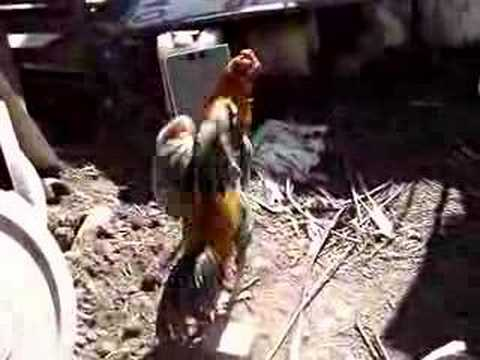 Fighting Rooster.. Video