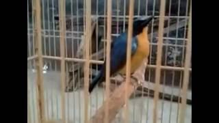 Burung tledekan   anis bin bin gacor