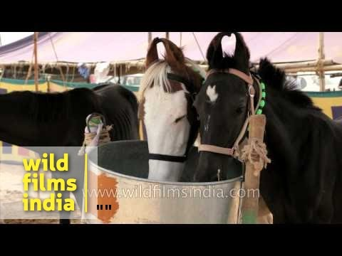 Marwari Horses For Sale At Pushkar Mela, Rajasthan video