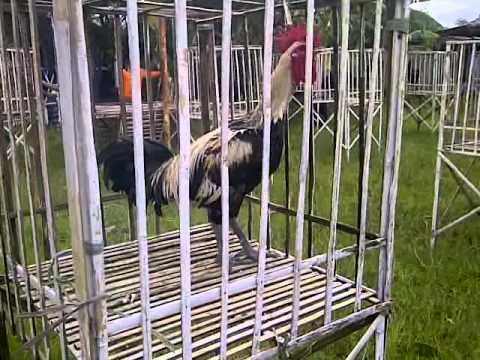Ayam Pelung Juara Si Baladewa video