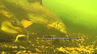 Barbel - Spooking on Flurocarbon Hooklinks
