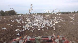 Farming Free Range Seagulls
