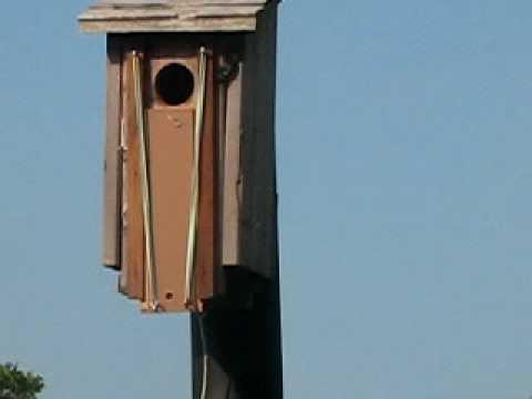 House Sparrow Trap Martin House Sparrow Trap