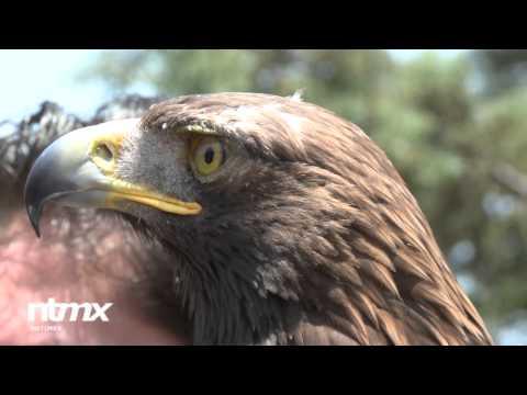 El Águila Real símbolo de la identidad nacional