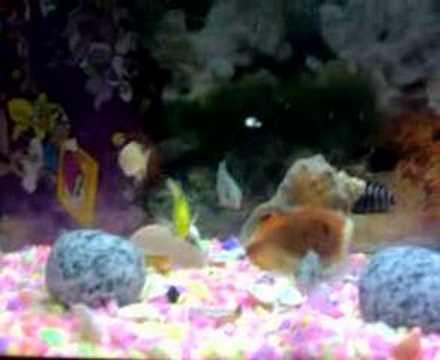 ciklet akvaryum balıkları zebra ıceman