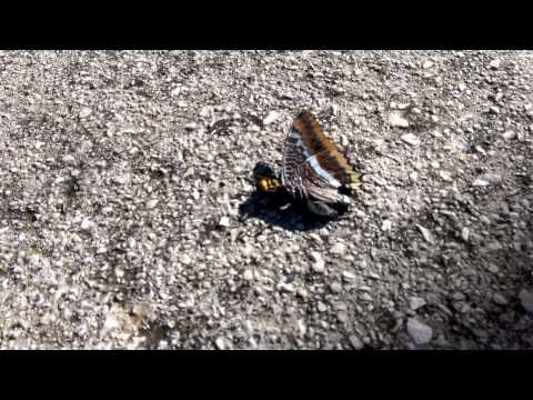 Wasp killing butterfly by biting off it's head