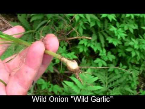 Wild Garlic vs Wild Onion Wild Onion Quot Wild Garlic Quot Wmv