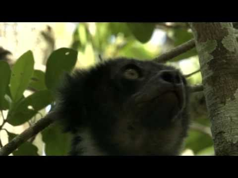 Remarkable 'Dog-faced' Lemurs Leap Through Jungle - Madagascar, Preview - BBC Two