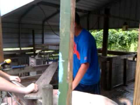 Pigs slaughtered by at least one dog at DeLand Middle School
